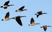 What Can We Learn From Geese?